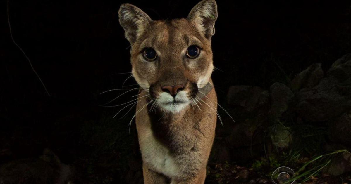 B Mobile Mountain Lion Rancher with permit to...