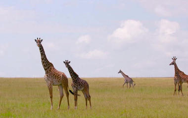 Giraffes added to endangered species watch list