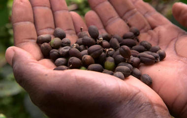 Climate change could have dramatic impact on coffee
