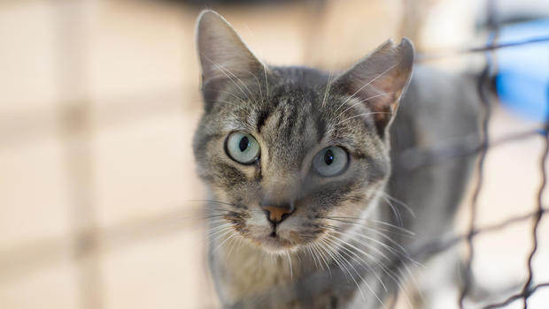 Avian influenza, cats and Vets