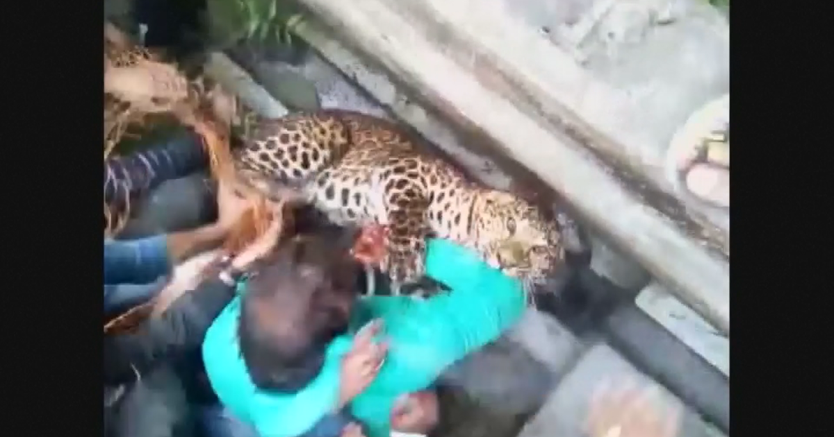 watch leopard attacks after officials in west bengal