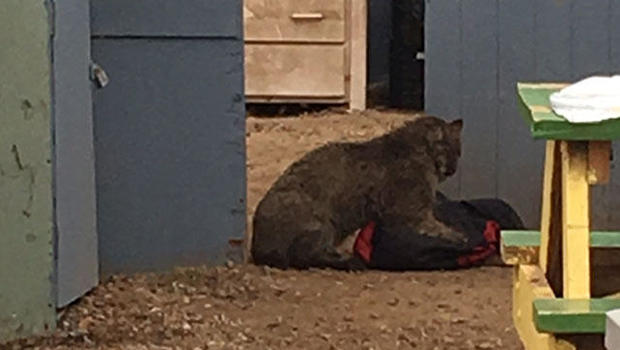 Bobcat Killed After Attack Tests Positive For Rabies