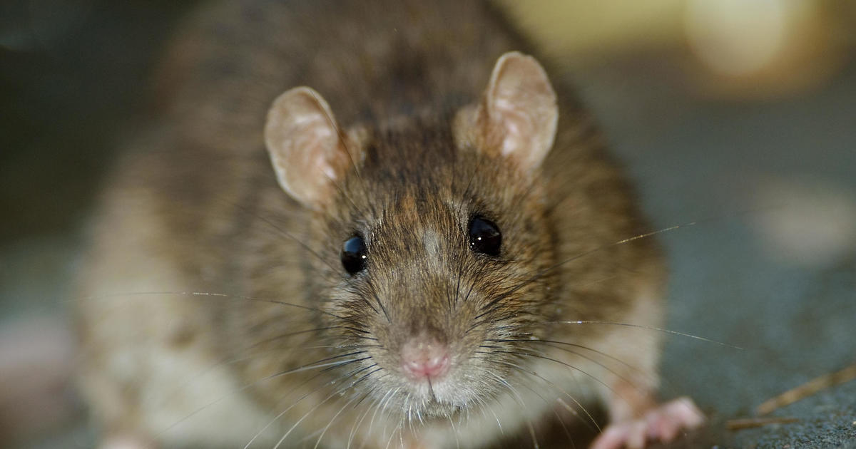 8 people infected in rare U.S. outbreak of rat virus