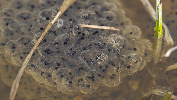 frog-eggs-in-snow-melt-pond-verne-lehmberg-620.jpg