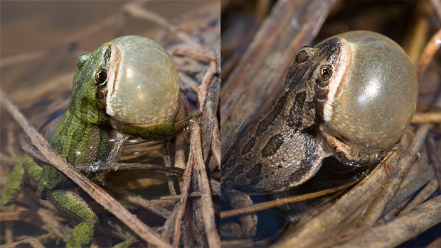 boreal-chorus-frog-color-variations-verne-lehmberg-620.jpg