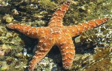 Nature: Starfish