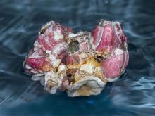 pacific-coast-barnacles-verne-lehmberg.jpg