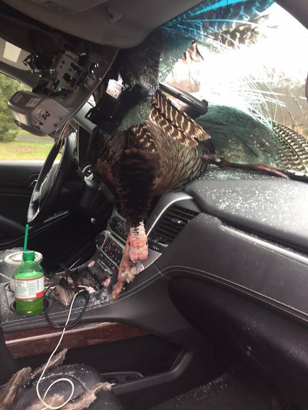 wild-turkey-windshield-new-jersey-2-2017-3-28.jpg