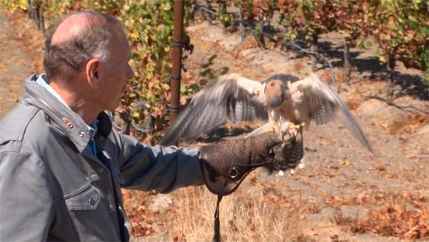 falcon-with-john-blackstone-620.jpg