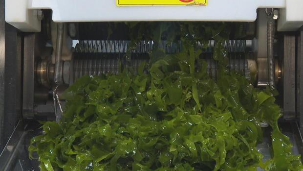 kelp-green.jpg