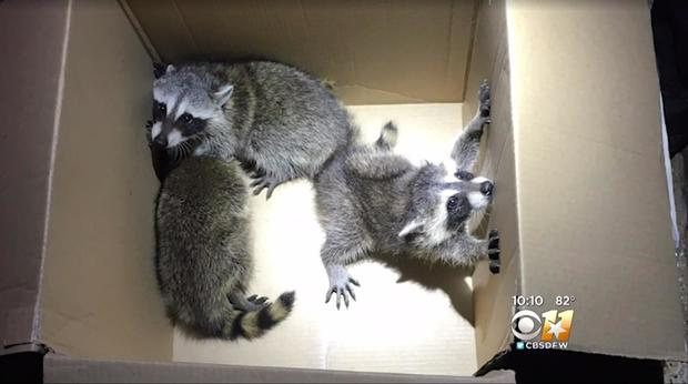 170607-cbs-dfw-raccoons-02.jpg