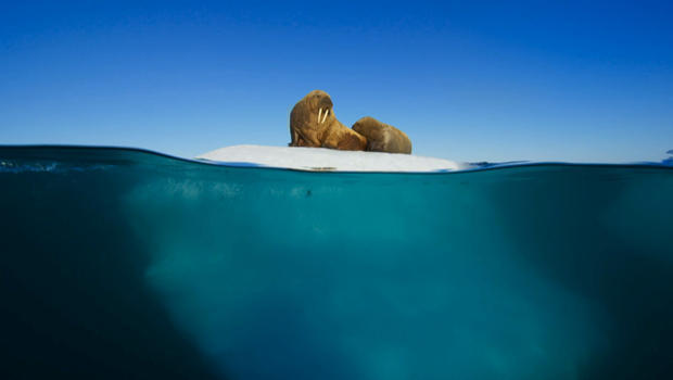 blue-planet-walrus-and-pup-on-floating-sea-ice-620.jpg