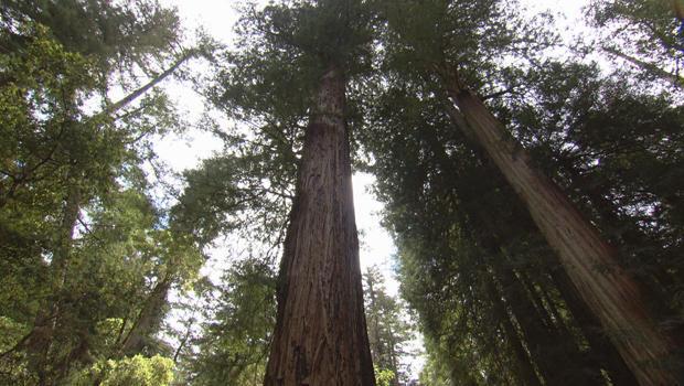 红杉最父亲的最森林树620.jpg
