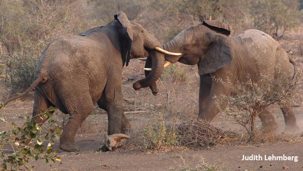 大象战斗,朱迪 -  lehmberg-620.jpg