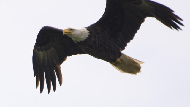 bald-eagle-in-flight-orlando-c-monaco-promo.jpg