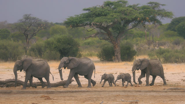 Zimbabwe Dying Elephants