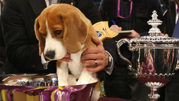 Six Years After Winning Westminster Dog Show Uno Is Still Top Dog Cbs News