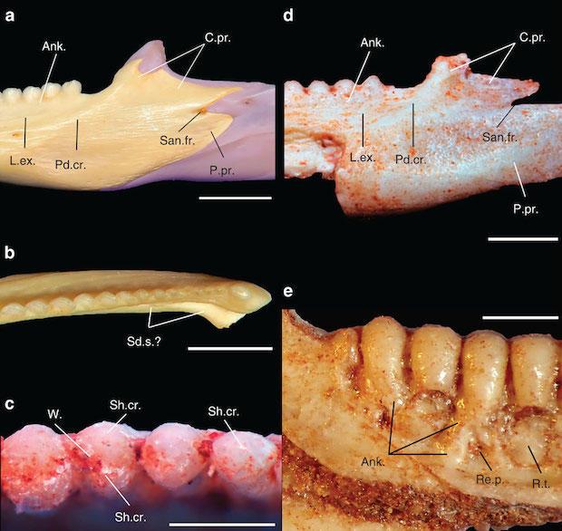 teeth-of-gueragama-sulamericana.jpg