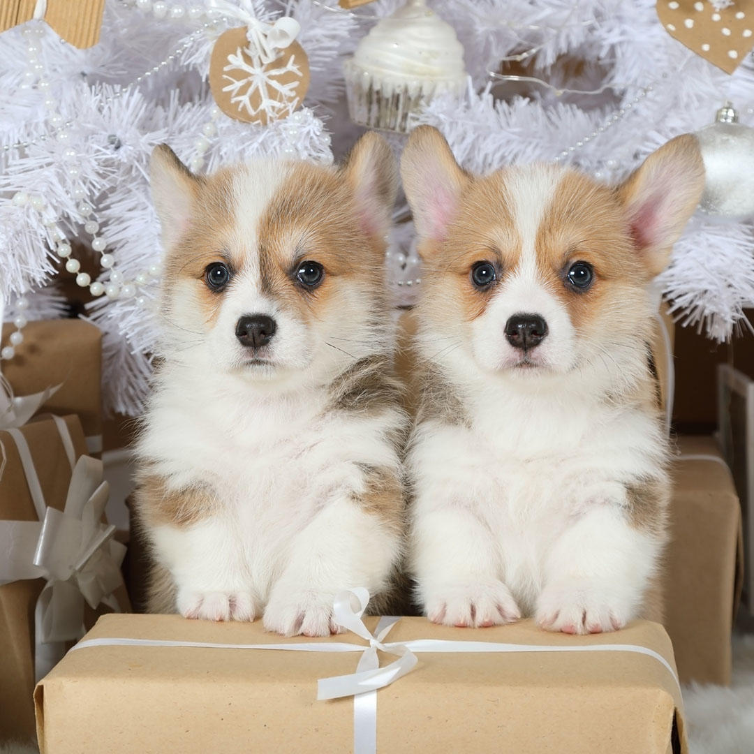 Two Welsh Corgi puppies with gift