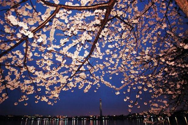 Cherry Blossoms 2005