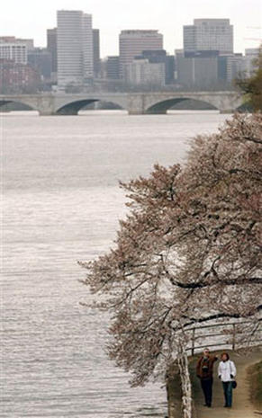 Cherry Blossoms 2006