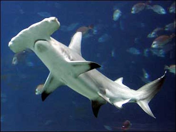 Asexual hammerhead sharks
