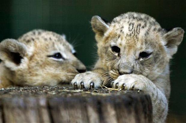 Cuddly Cubs