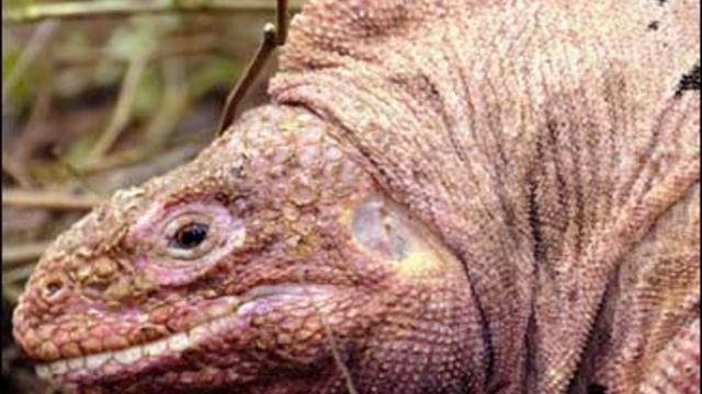 Pink Iguana At Galapagos Islands National Park