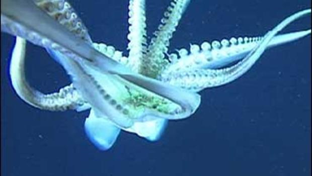 Humboldt squid (Dosidicus gigas) off the coast of California