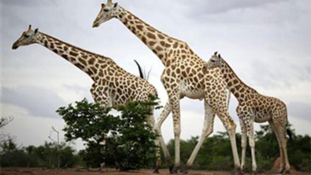 West African Giraffes Defy Extinction