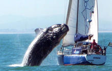 Whale Lands on Yacht