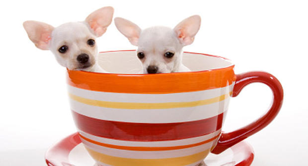 Cute dogs in coffee cup.