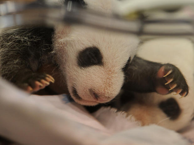Baby Panda Twins Born in Madrid Zoo