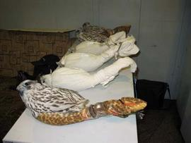 Rare Falcons Confiscated at Moscow Airport
