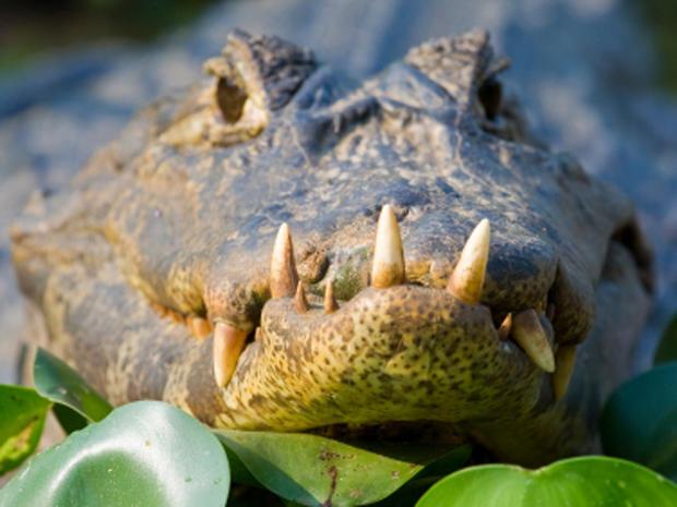 crocodile_000007896553XSmall.jpg