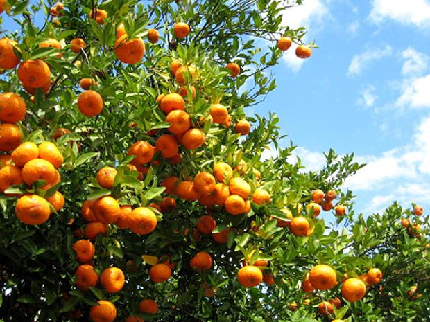 florida-oranges-000004138231xsmall_1.jpg