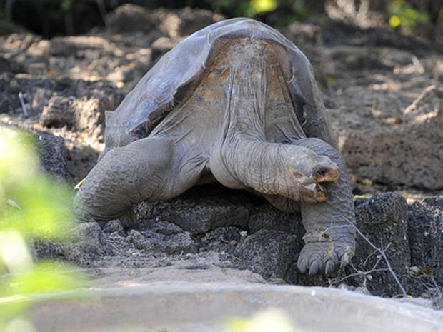 Lonesome George: Galapagos's Most Eligible Bachelor
