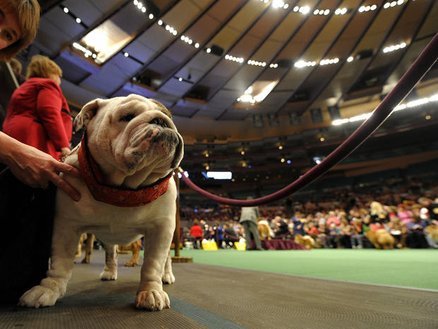 Westminster Dog Show 2011