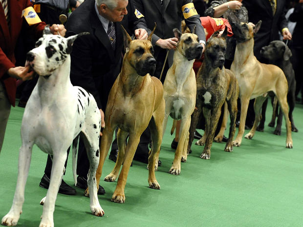 Westminster Dog Show 2011 Best In Show To Be Announced Tonight Cbs News