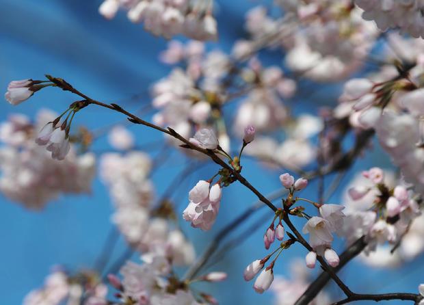 cherry_blossoms_110872050.jpg