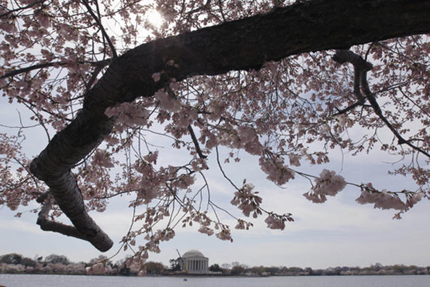 Cherry blossoms in D.C.