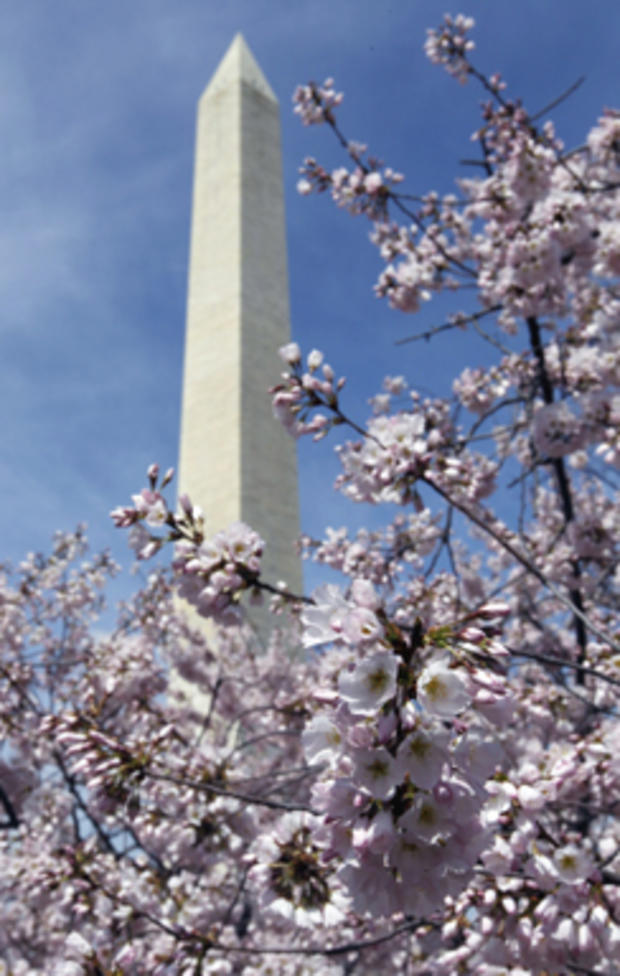 cherry_blossoms_AP110325134457.jpg