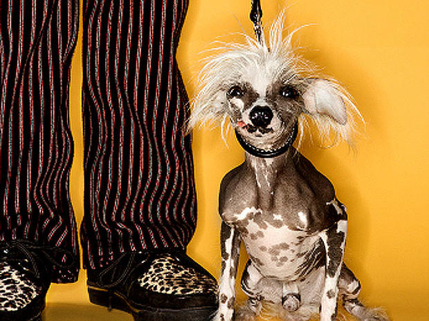 Chinese_Crested_iStock_0000.jpg