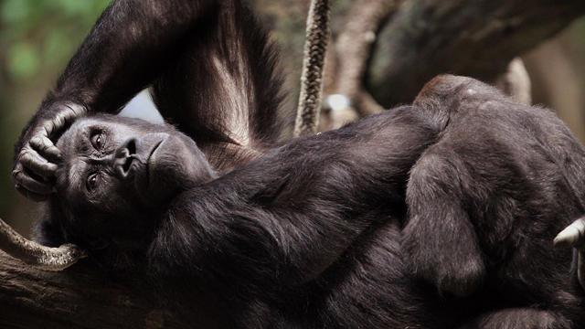 western-gorilla-sized.jpg