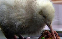 Rare kiwi hatches in NZ sanctuary