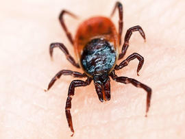 lyme disease, tick, bite, stock, 4x3