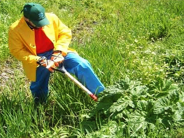 Where Does Giant Hogweed Grow Giant Hogweed 8 Facts You Must Know About The Toxic Plant Pictures Cbs News