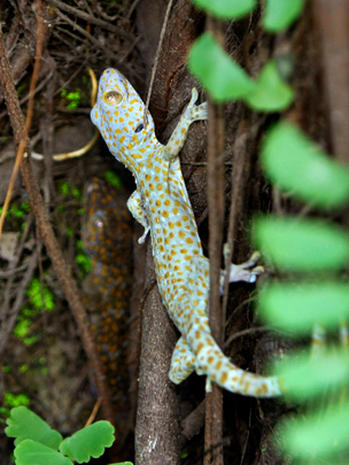 Geckos: False AIDS treatment in Asia