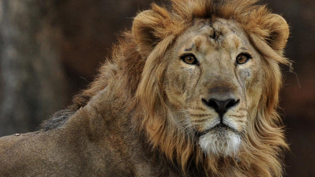 how to avoid becoming a lion s dinner cbs news