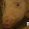 pig_16.png
